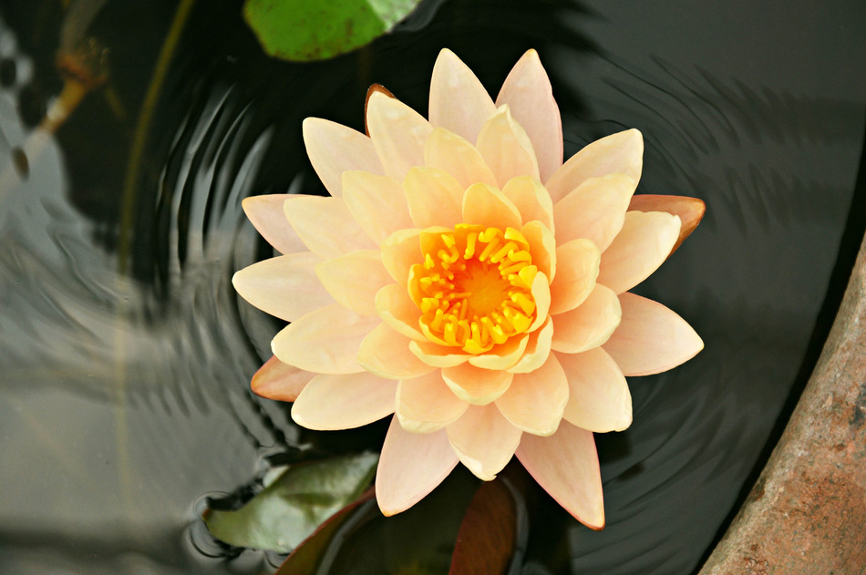 Lotus flower or waterlily